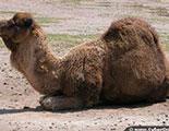 Camels (1-31)