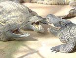 CyberDodo and the Alligators (1-39)