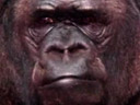 A gorilla wants to talk to you
